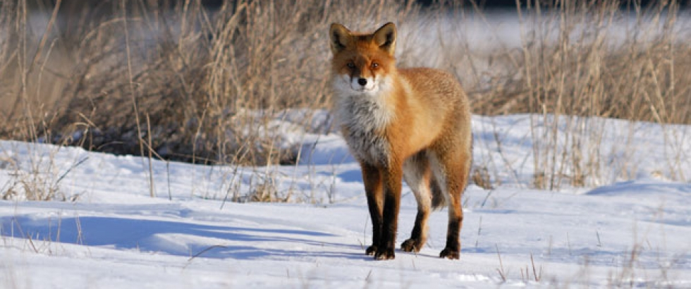 Dutch Fox in Oostvaarderplassen VanDen Collection inspiration