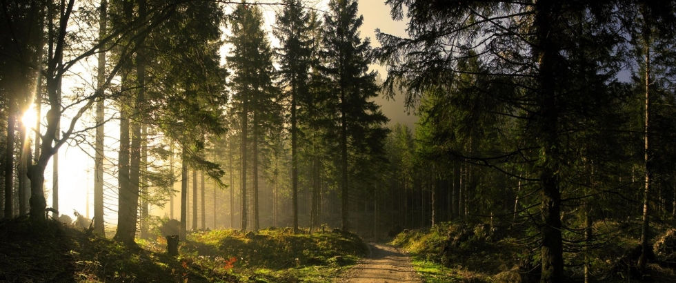 Morninglight in the woods